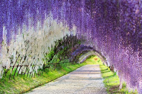 Kawachi fuji garden 1