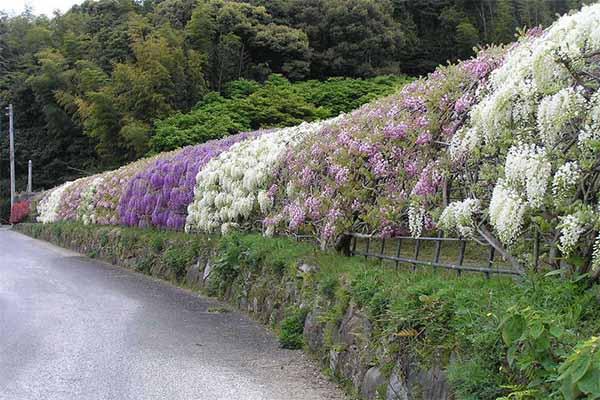 Kawachi fuji garden 10