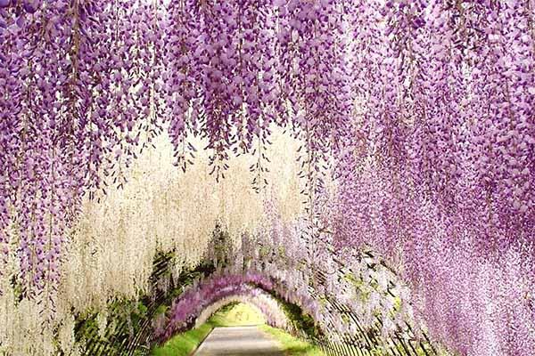 Kawachi fuji garden 3