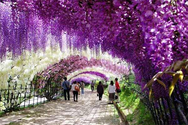 Kawachi fuji garden 7