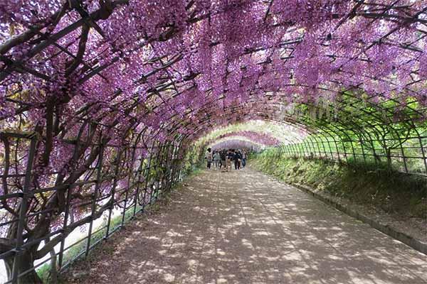 Kawachi fuji garden 9