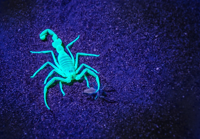 Arabian Adventures Night Safari - glow-in-the-dark scorpion