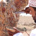 Al Baleed Resort Salalah by Anantara - collecting frankincense resin